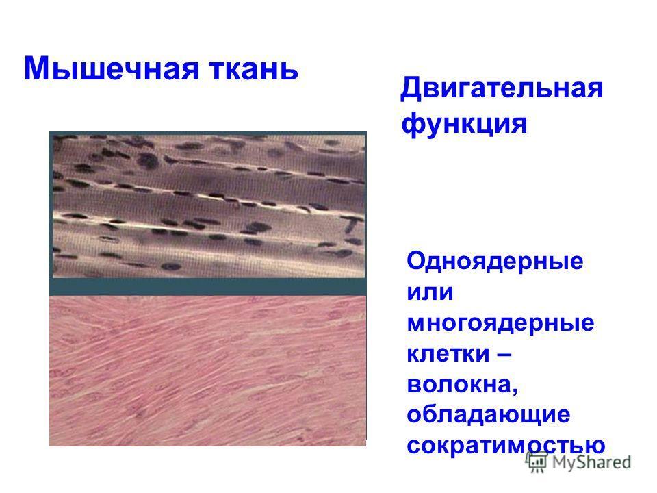 Мышечная ткань Двигательная функция Одноядерные или многоядерные клетки – волокна, обладающие сократимостью