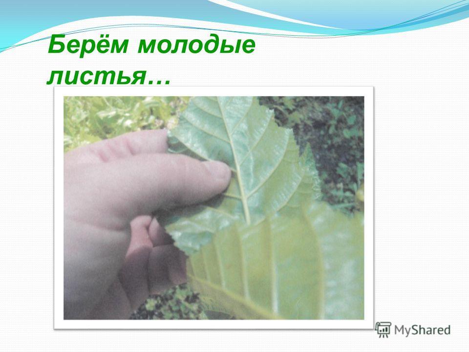 Берём молодые листья…