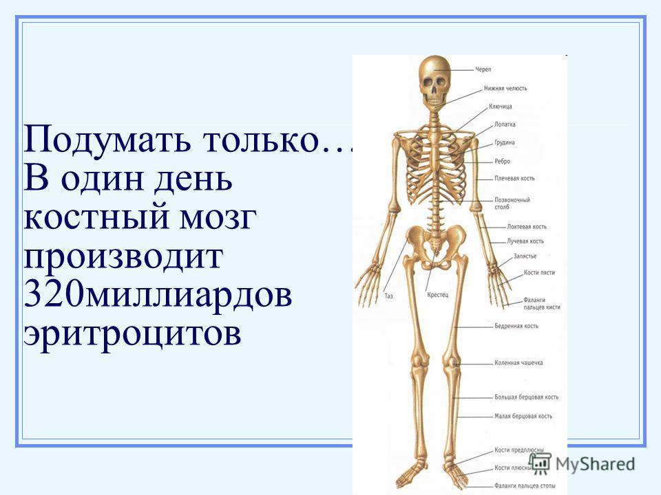 Подумать только… В один день костный мозг производит 320миллиардов эритроцитов
