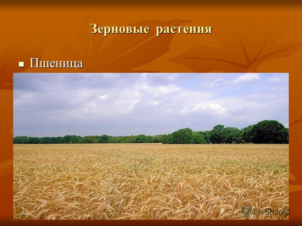 Зерновые растения Пшеница Пшеница