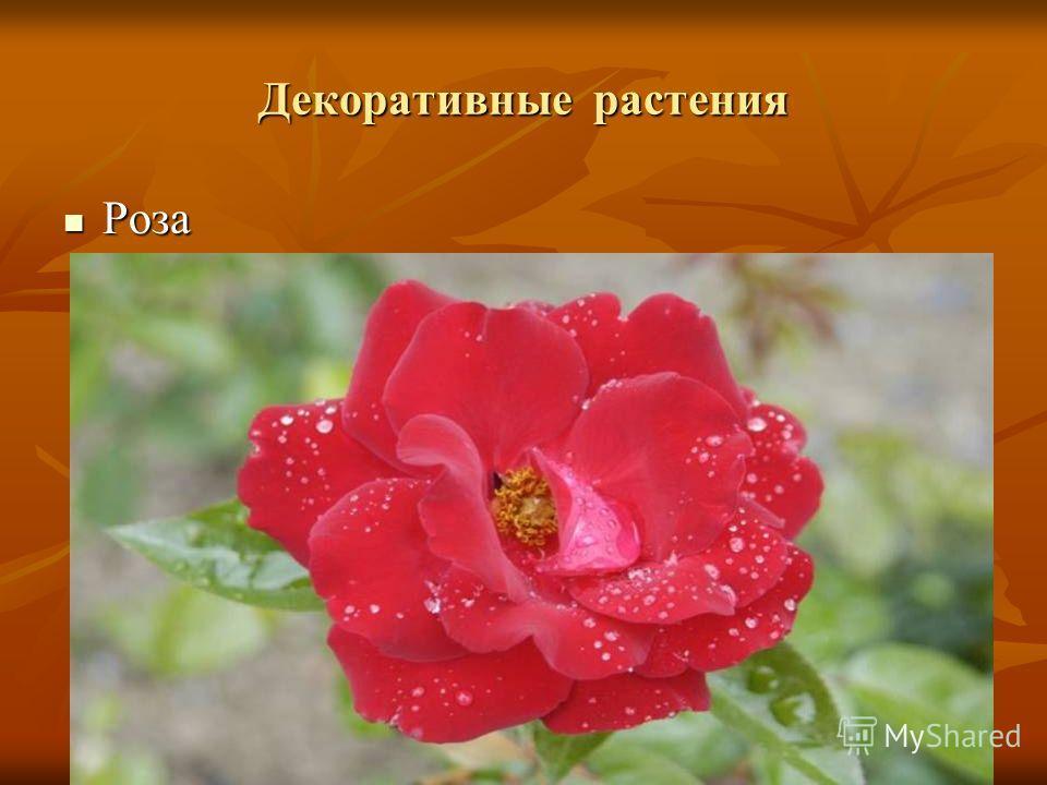 Декоративные растения Роза Роза