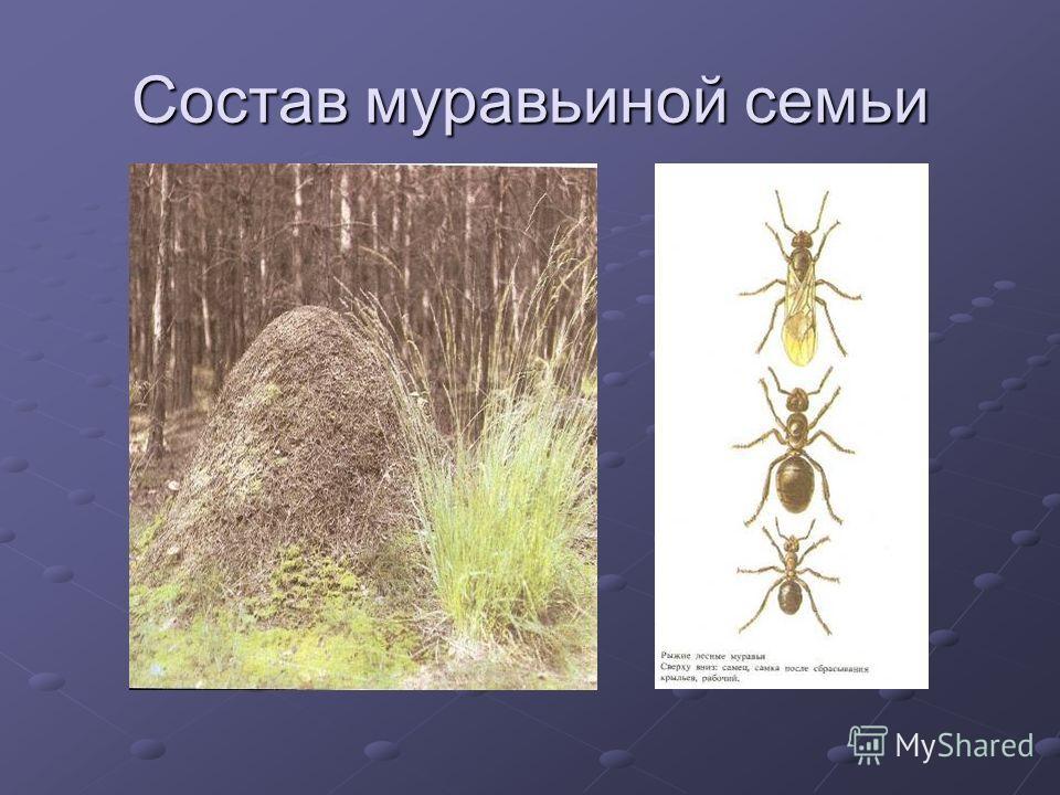 Состав муравьиной семьи