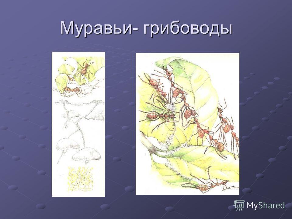 Муравьи- грибоводы