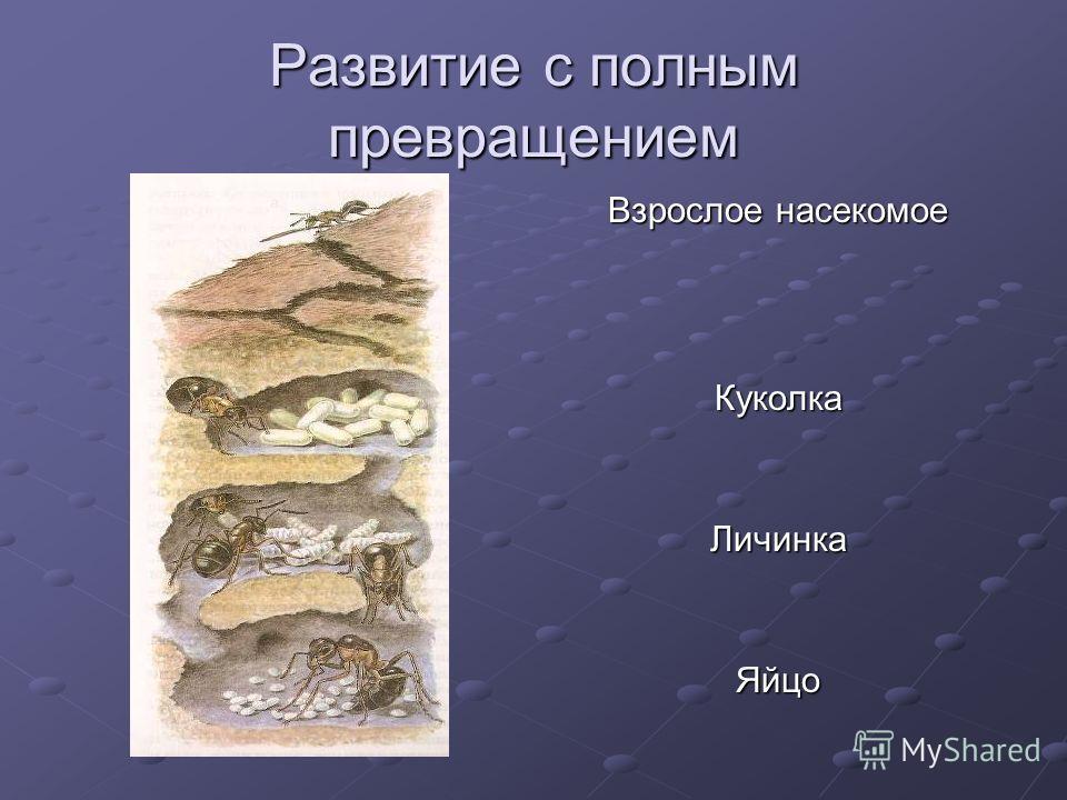 Развитие с полным превращением Взрослое насекомое КуколкаЛичинкаЯйцо