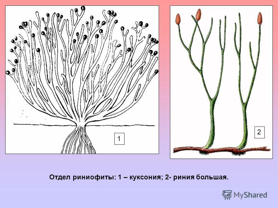 1 2 Отдел риниофиты: 1 – куксония; 2- риния большая.