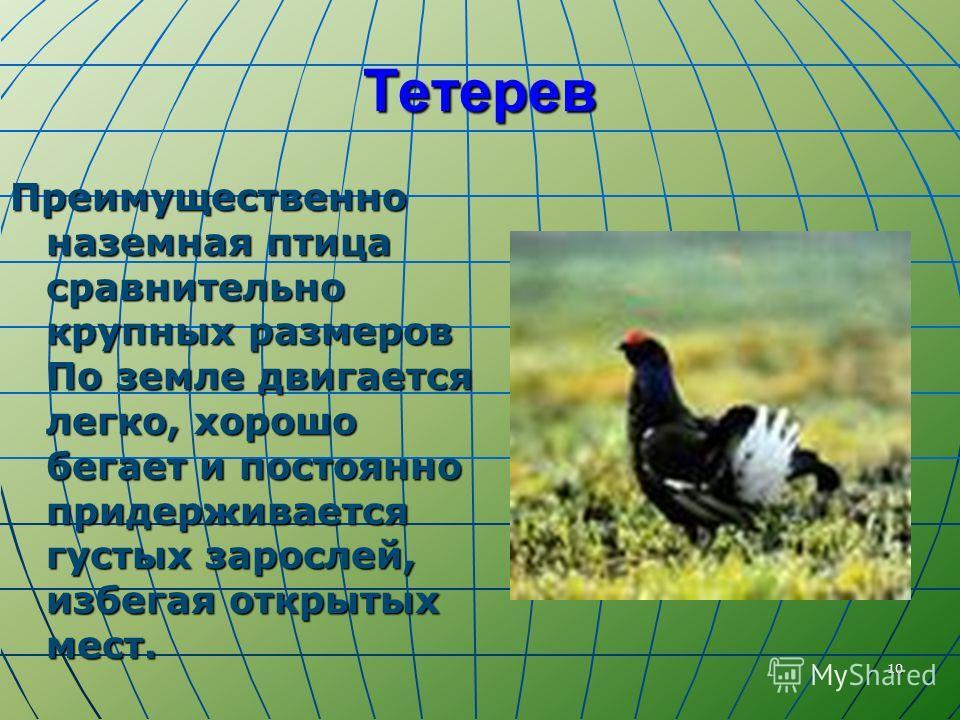 10 Тетерев Преимущественно наземная птица сравнительно крупных размеров По земле двигается легко, хорошо бегает и постоянно придерживается густых зарослей, избегая открытых мест.