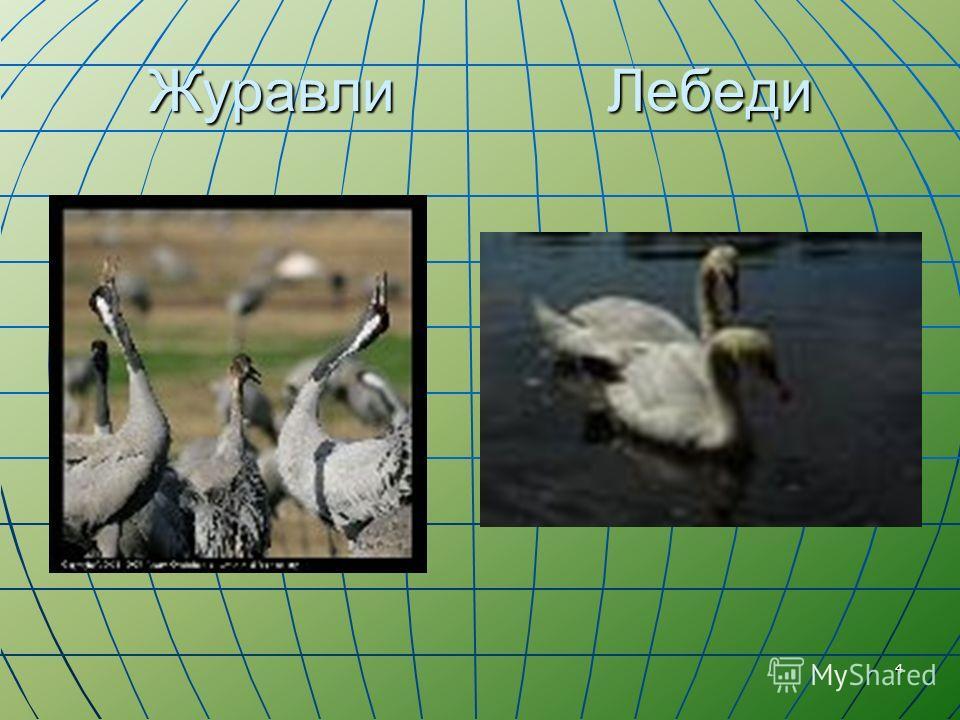 4 Журавли Лебеди