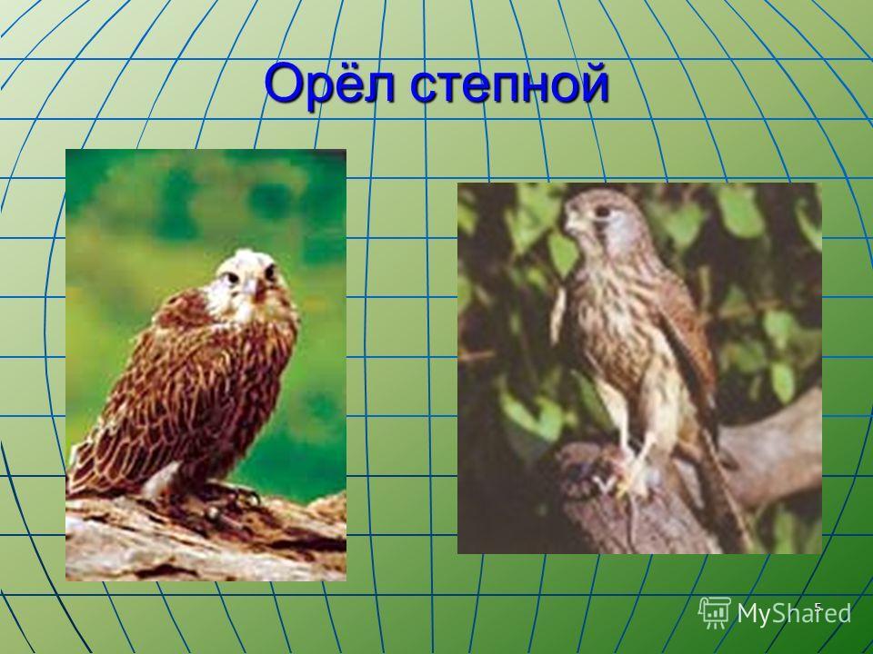 5 Орёл степной