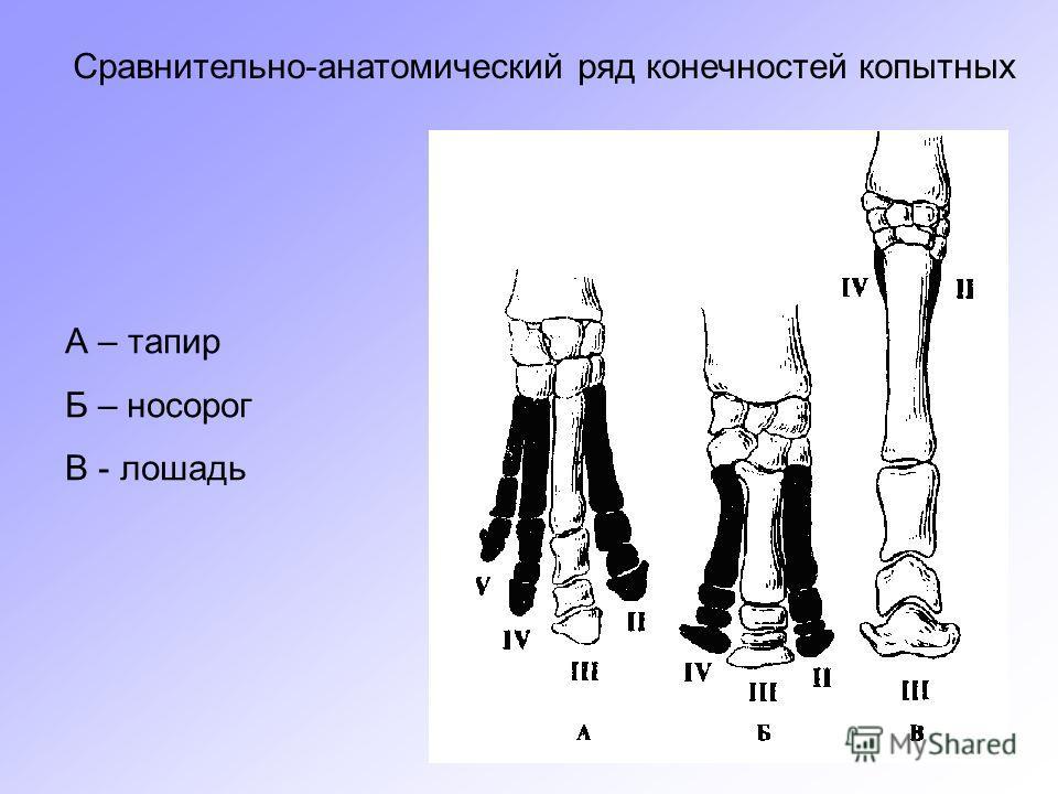 Сравнительно-анатомический ряд конечностей копытных А – тапир Б – носорог В - лошадь