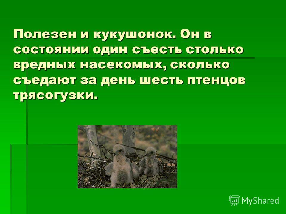 Полезен и кукушонок. Он в состоянии один съесть столько вредных насекомых, сколько съедают за день шесть птенцов трясогузки.