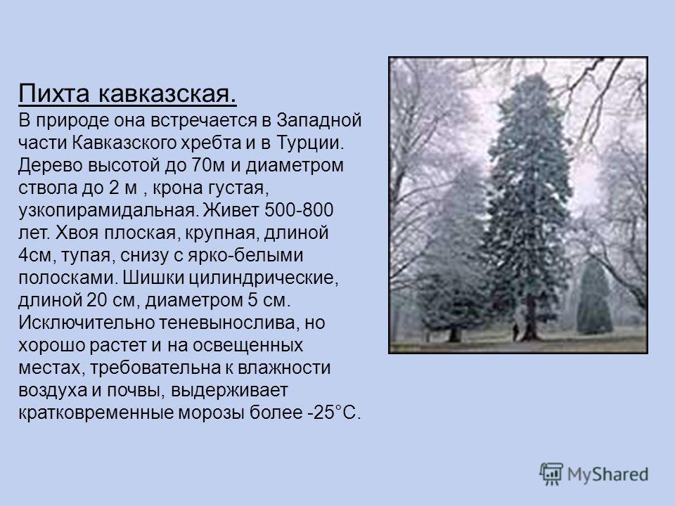 Пихта кавказская. В природе она встречается в Западной части Кавказского хребта и в Турции. Дерево высотой до 70м и диаметром ствола до 2 м, крона густая, узкопирамидальная. Живет 500-800 лет. Хвоя плоская, крупная, длиной 4см, тупая, снизу с ярко-бе