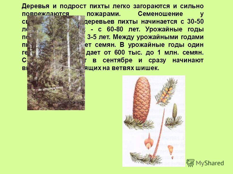 Деревья и подрост пихты легко загораются и сильно повреждаются пожарами. Семеношение у свободностоящих деревьев пихты начинается с 30-50 лет, в древостоях - с 60-80 лет. Урожайные годы повторяются через 3-5 лет. Между урожайными годами пихта почти не
