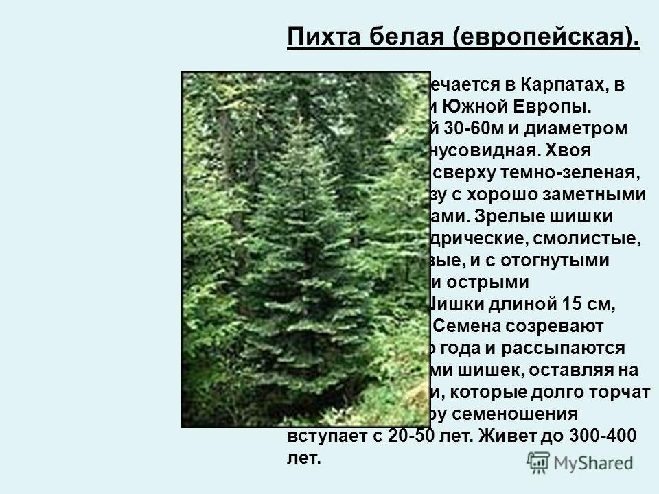 Пихта белая (европейская). В природе встречается в Карпатах, в горах Средней и Южной Европы. Дерево высотой 30-60м и диаметром до 2м, крона конусовидная. Хвоя плоская, тупая, сверху темно-зеленая, блестящая, снизу с хорошо заметными белыми полосками.