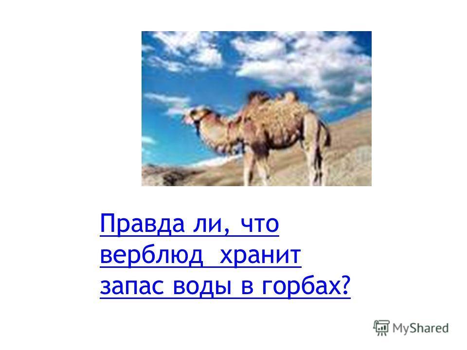 Правда ли, что верблюд хранит запас воды в горбах?