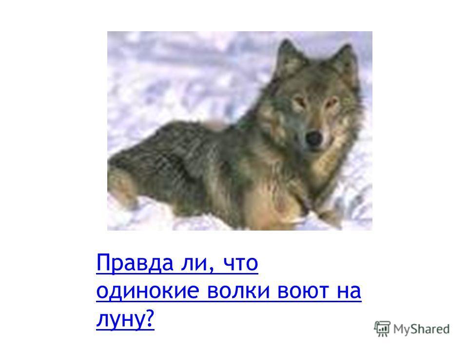 Правда ли, что одинокие волки воют на луну?