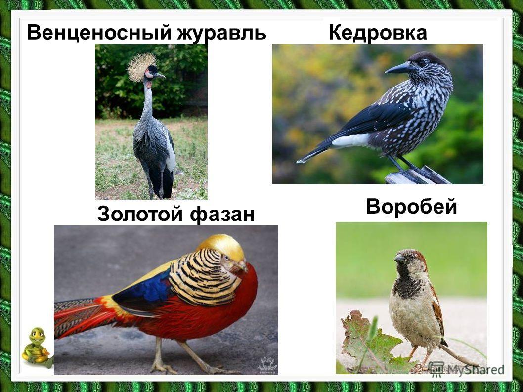 Воробей Кедровка Золотой фазан Венценосный журавль