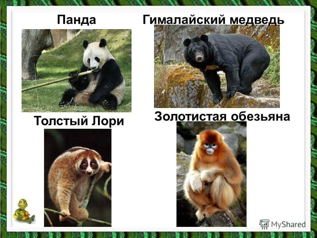 Толстый Лори ПандаГималайский медведь Золотистая обезьяна