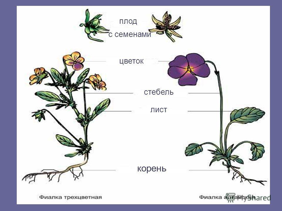 цветок стебель лист корень плод с семенами