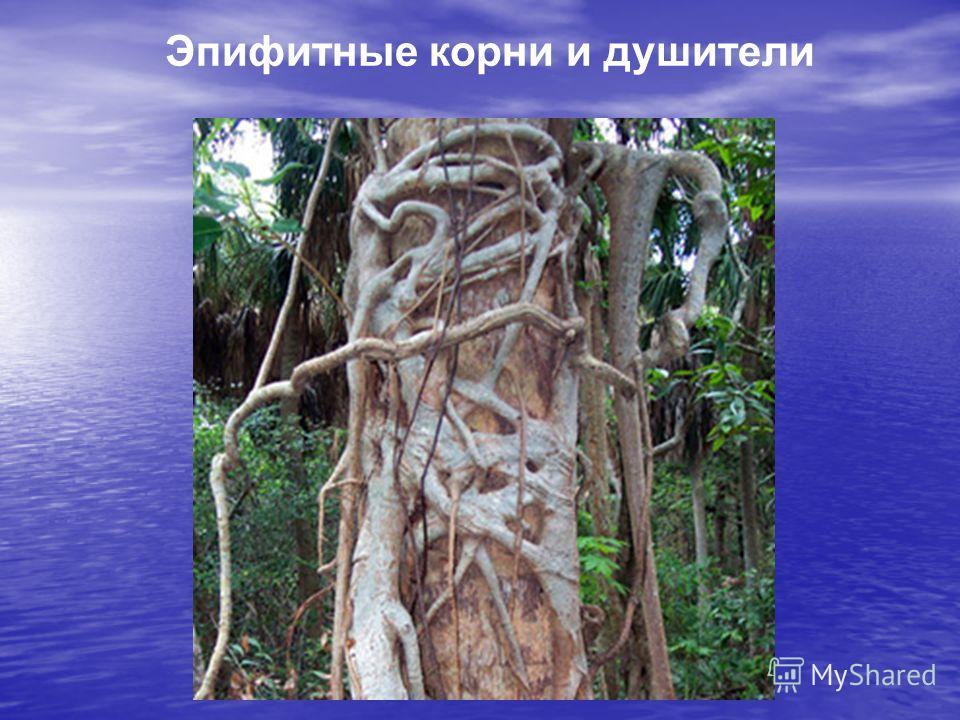 Эпифитные корни и душители