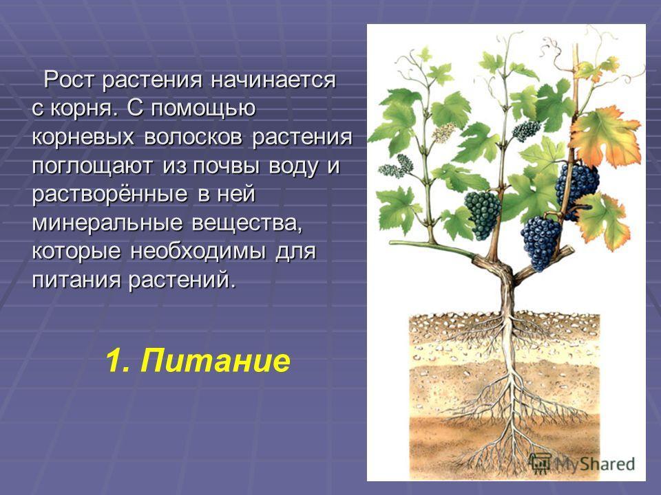 Рост растения начинается с корня. С помощью корневых волосков растения поглощают из почвы воду и растворённые в ней минеральные вещества, которые необходимы для питания растений. Рост растения начинается с корня. С помощью корневых волосков растения