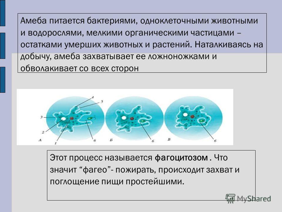 Амеба питается бактериями, одноклеточными животными и водорослями, мелкими органическими частицами – остатками умерших животных и растений. Наталкиваясь на добычу, амеба захватывает ее ложноножками и обволакивает со всех сторон Этот процесс называетс