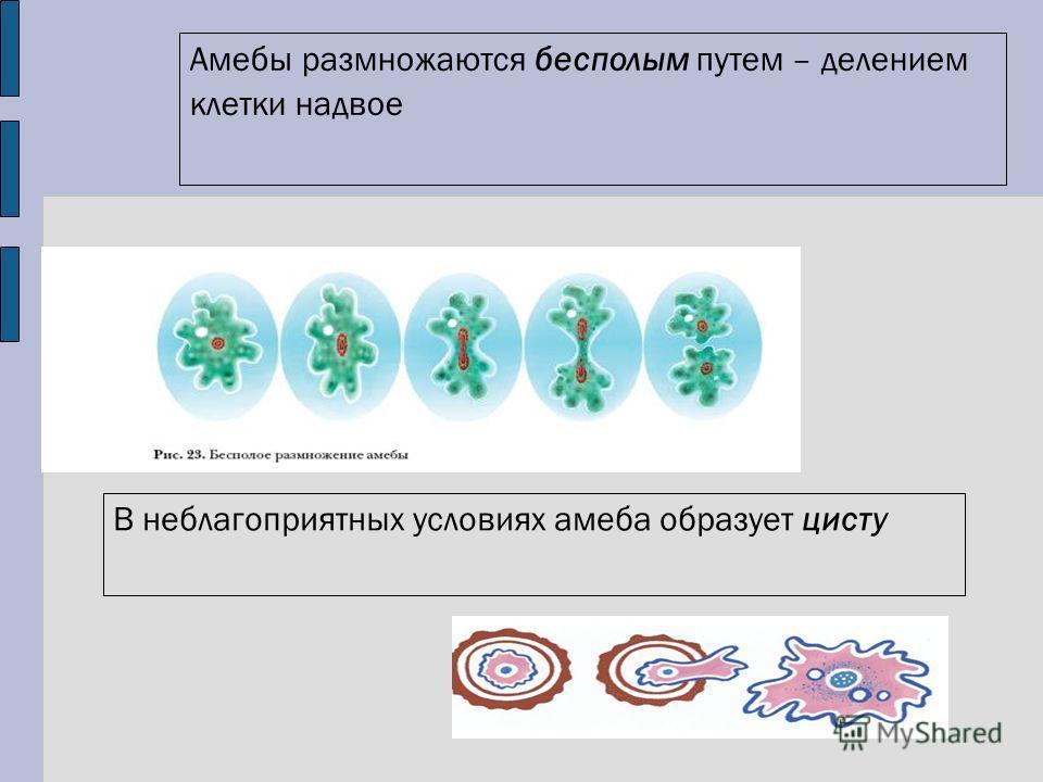 Амебы размножаются бесполым путем – делением клетки надвое В неблагоприятных условиях амеба образует цисту