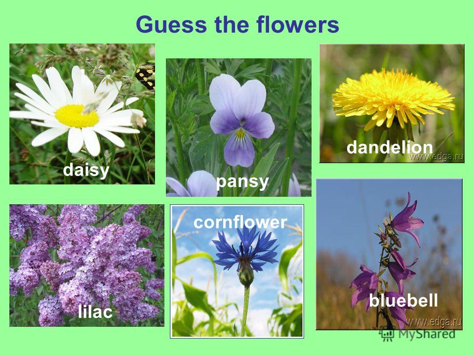 Guess the flowers daisy pansy dandelion lilac cornflower bluebell