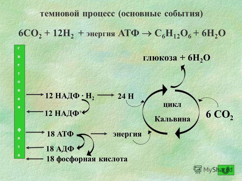 темновой процесс (основные события) 6СО 2 + 12Н 2 + энергия АТФ С 6 Н 12 О 6 + 6Н 2 О световая фазасветовая фаза 12 НАДФ · Н 2 24 Н 18 АТФ 18 АДФ 18 фосфорная кислота 12 НАДФ + энергия 6 СО 2 цикл Кальвина глюкоза + 6Н 2 О