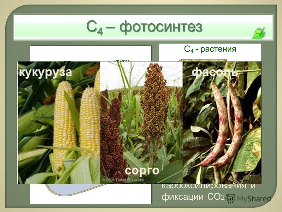 С 4 – фотосинтез С 4 -метаболизм: пространственное разделение карбоксилирования и фиксации СО 2