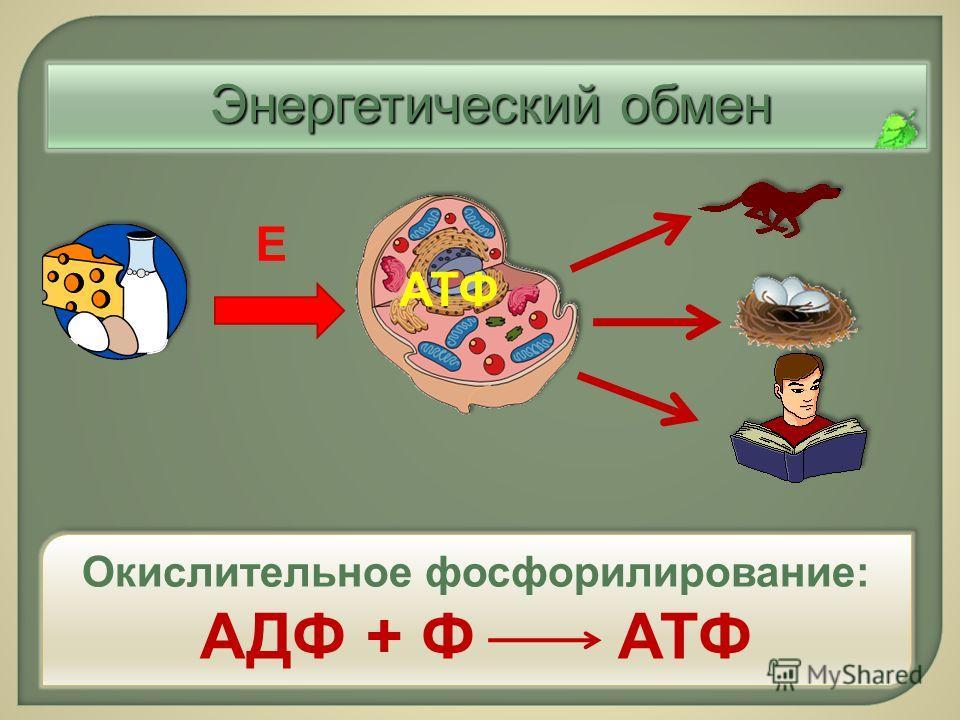 Энергетический обмен Е АТФ Окислительное фосфорилирование : АДФ + Ф АТФ Окислительное фосфорилирование : АДФ + Ф АТФ