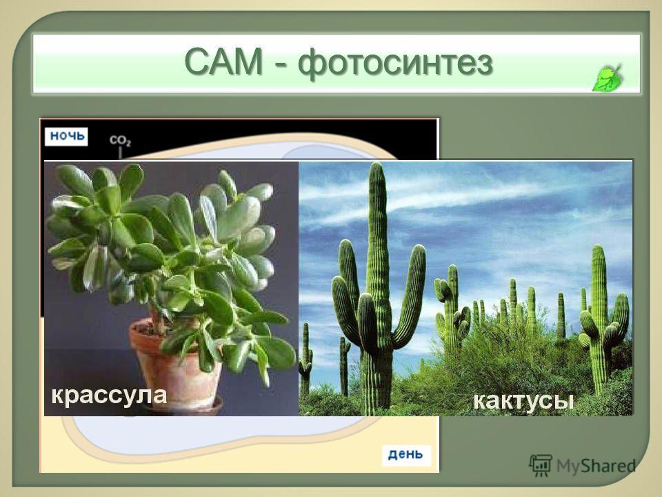 САМ - фотосинтез САМ- метаболизм: временное разделение карбоксилиро- вания и фиксации СО 2
