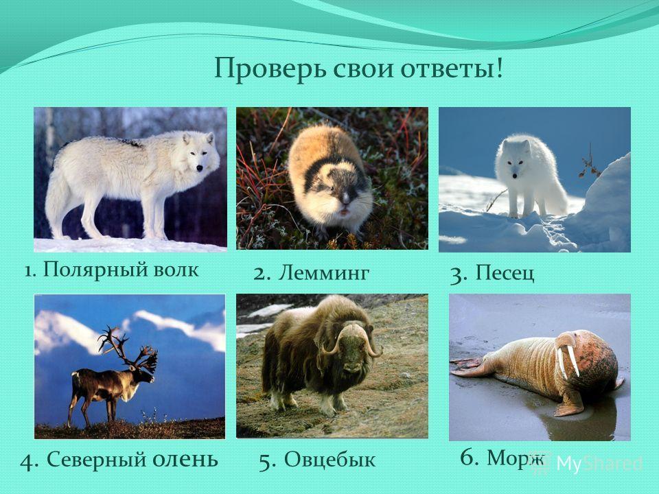 Проверь свои ответы! 1. Полярный волк 2. Лемминг 3. Песец 4. Северный олень5. Овцебык 6. Морж