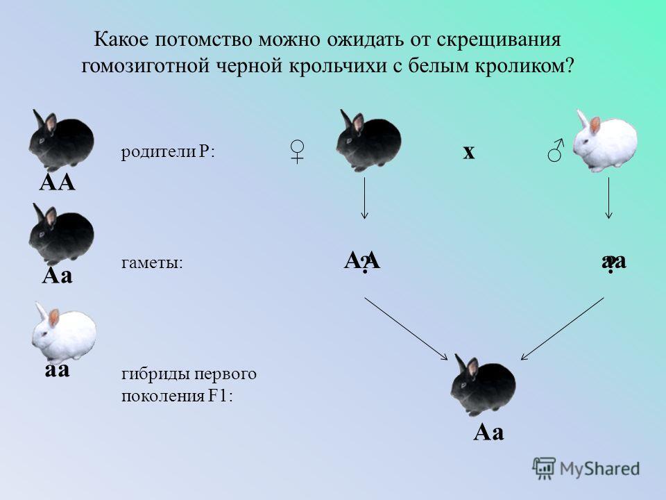 Какое потомство можно ожидать от скрещивания гомозиготной черной крольчихи с белым кроликом? родители Р: гаметы: гибриды первого поколения F1: ? х ? ? ? ? АА аа Аа АА Аа аа