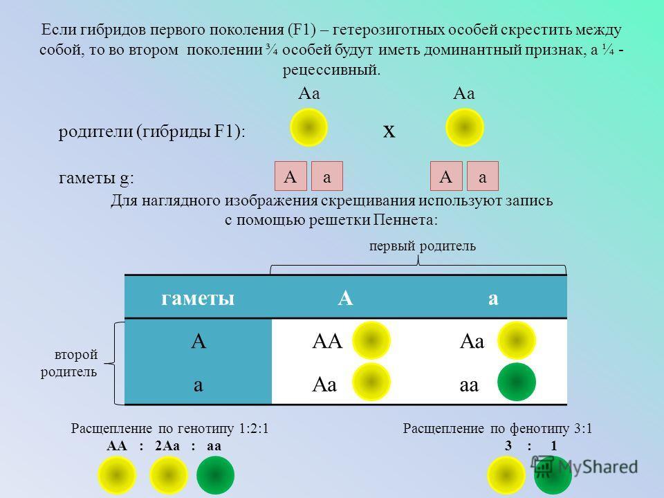 Если гибридов первого поколения (F1) – гетерозиготных особей скрестить между собой, то во втором поколении ¾ особей будут иметь доминантный признак, а ¼ - рецессивный. Для наглядного изображения скрещивания используют запись с помощью решетки Пеннета