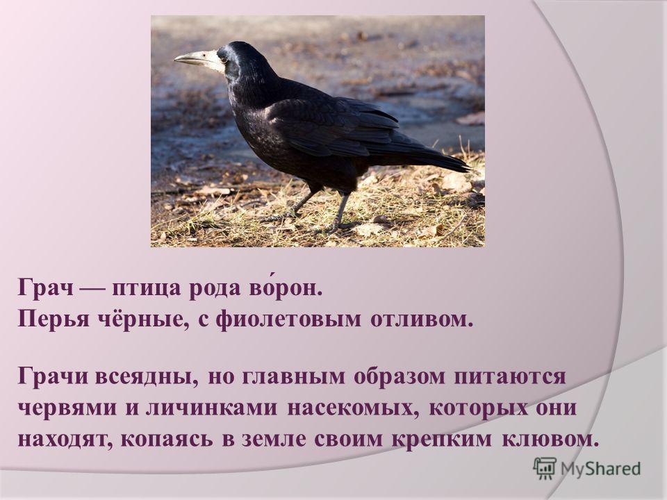 Грач птица рода во́рон. Перья чёрные, с фиолетовым отливом. Грачи всеядны, но главным образом питаются червями и личинками насекомых, которых они находят, копаясь в земле своим крепким клювом.