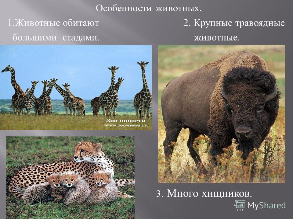 Особенности животных. 1.Животные обитают 2. Крупные травоядные большими стадами. животные. 3. Много хищников.