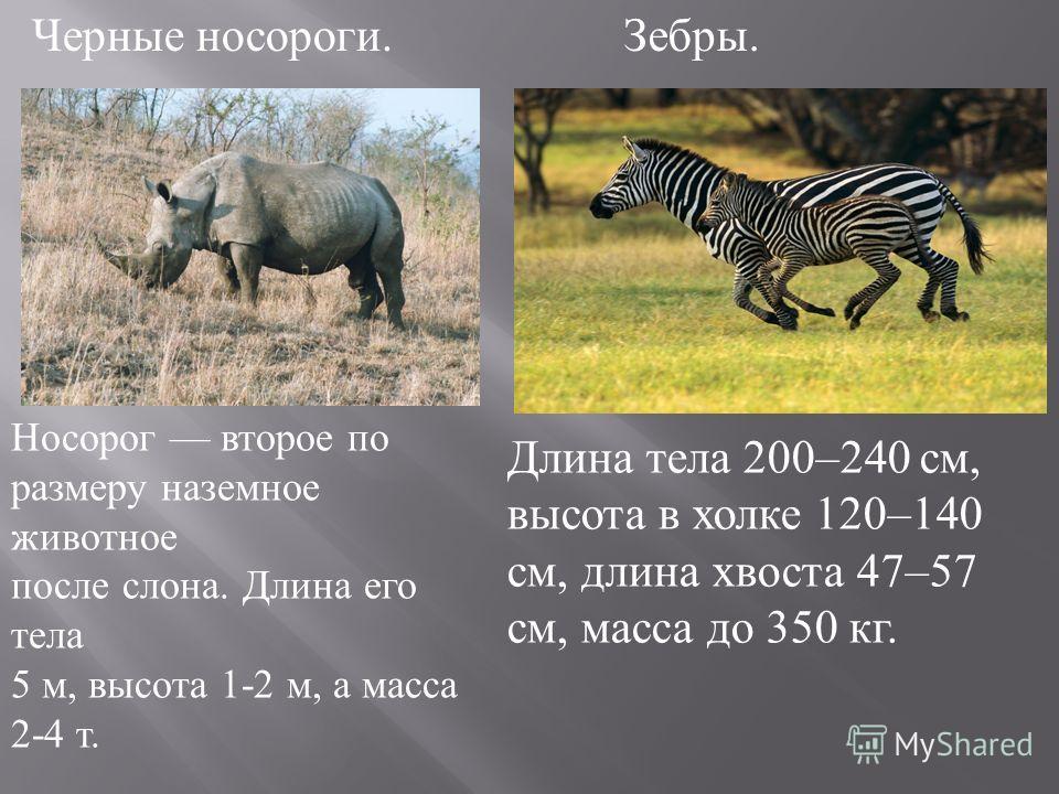 Черные носороги. Носорог второе по размеру наземное животное после слона. Длина его тела 5 м, высота 1-2 м, а масса 2-4 т. Длина тела 200–240 см, высота в холке 120–140 см, длина хвоста 47–57 см, масса до 350 кг. Зебры.