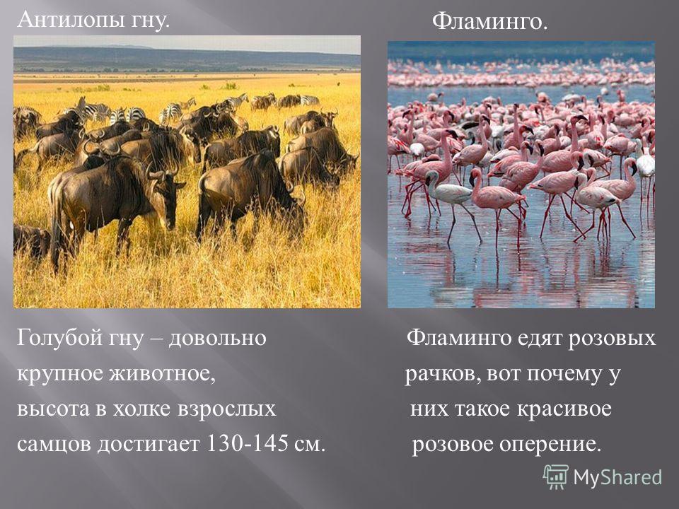 Антилопы гну. Голубой гну – довольно Фламинго едят розовых крупное животное, рачков, вот почему у высота в холке взрослых них такое красивое самцов достигает 130-145 см. розовое оперение. Фламинго.