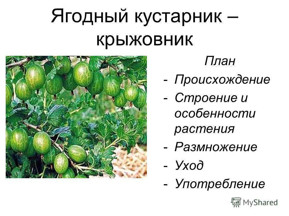 Ягодный кустарник – крыжовник План -Происхождение -Строение и особенности растения -Размножение -Уход -Употребление