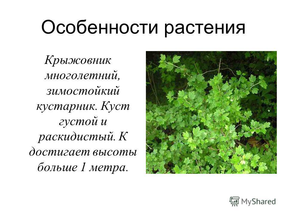 Особенности растения Крыжовник многолетний, зимостойкий кустарник. Куст густой и раскидистый. К достигает высоты больше 1 метра.