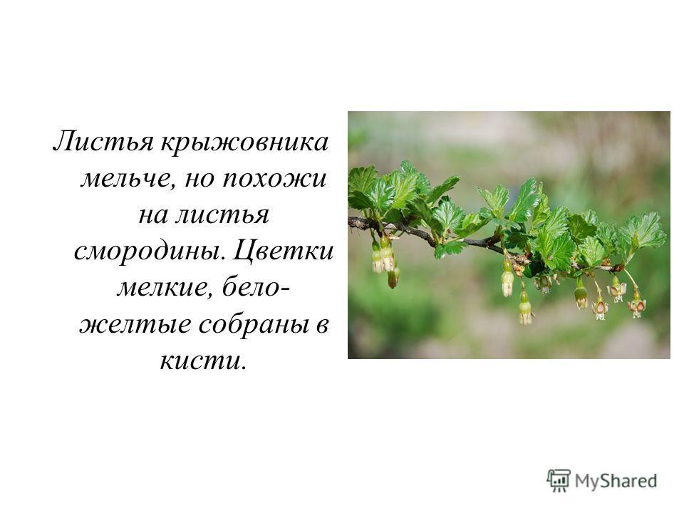 Листья крыжовника мельче, но похожи на листья смородины. Цветки мелкие, бело- желтые собраны в кисти.