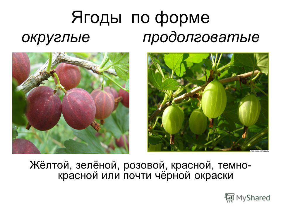 Ягоды по форме округлые продолговатые Жёлтой, зелёной, розовой, красной, темно- красной или почти чёрной окраски