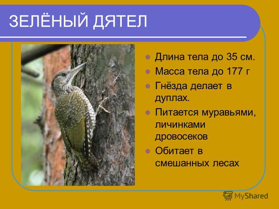 ЗЕЛЁНЫЙ ДЯТЕЛ Длина тела до 35 см. Масса тела до 177 г Гнёзда делает в дуплах. Питается муравьями, личинками дровосеков Обитает в смешанных лесах