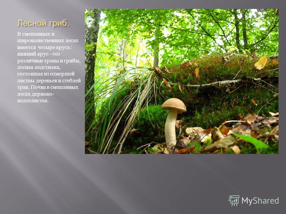 Лесной гриб. В смешанных и широколиственных лесах имеется четыре яруса : нижний ярус – это различные травы и грибы, лесная подстилка, состоящая из отмершей листвы деревьев и стеблей трав. Почва в смешанных лесах дерново - подзолистая.