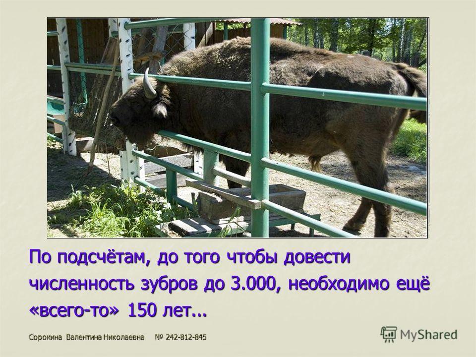 По подсчётам, до того чтобы довести численность зубров до 3.000, необходимо ещё «всего-то» 150 лет... Сорокина Валентина Николаевна 242-812-845