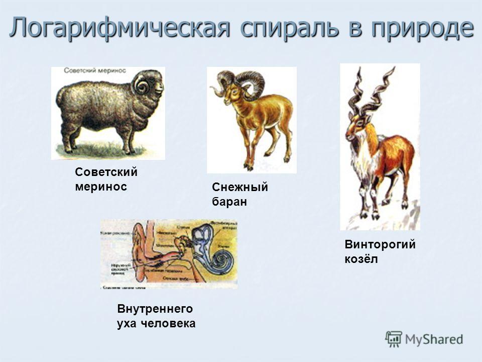 Советский меринос Снежный баран Винторогий козёл Внутреннего уха человека Логарифмическая спираль в природе