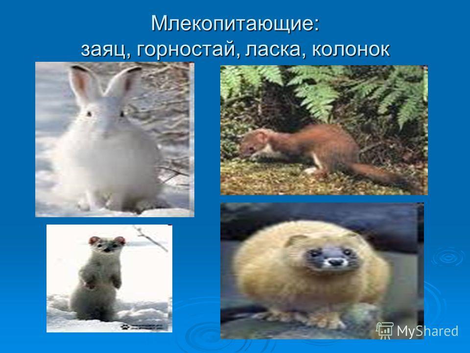 Млекопитающие: заяц, горностай, ласка, колонок