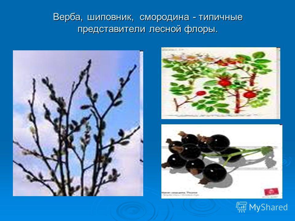 Верба, шиповник, смородина - типичные представители лесной флоры.