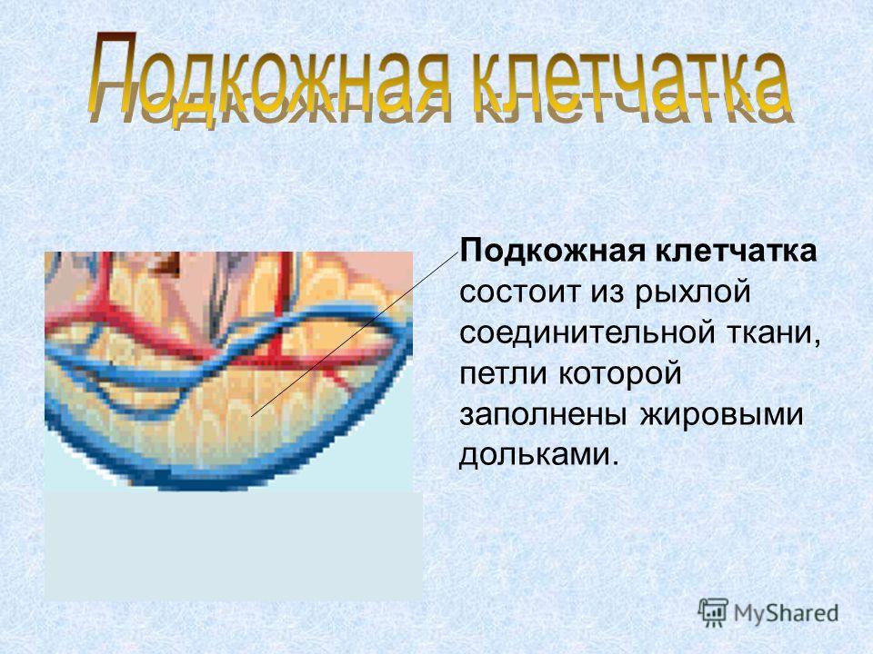Подкожная клетчатка состоит из рыхлой соединительной ткани, петли которой заполнены жировыми дольками.