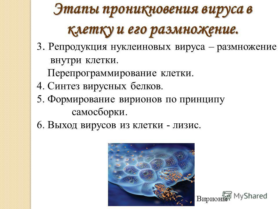 3. Репродукция нуклеиновых вируса – размножение внутри клетки. Перепрограммирование клетки. 4. Синтез вирусных белков. 5. Формирование вирионов по принципу самосборки. 6. Выход вирусов из клетки - лизис. Этапы проникновения вируса в клетку и его разм